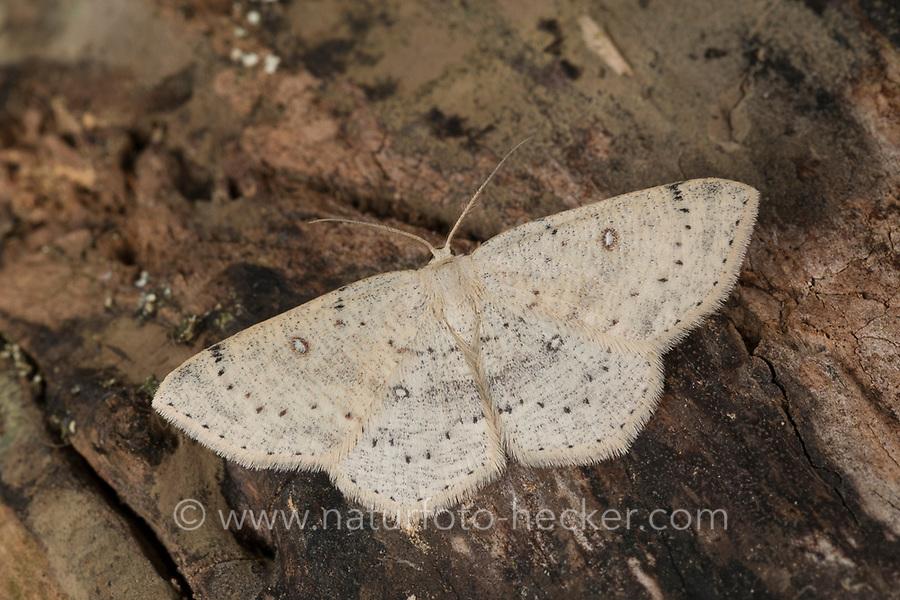 Birken-Gürtelpuppenspanner, Weißer Ringfleckspanner, Cyclophora albipunctata, Cosymbia coreana, birch mocha, Spanner, Geometridae, looper, loopers, geometer moths, geometer moth