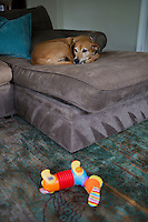 Josie (sp?) the dog lays on a couch in the Bermont family home in Lexington, Massachusetts, USA.