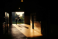 An eager thoroughbred stallion is led from his stall for his morning turn out..MODEL RELEASE