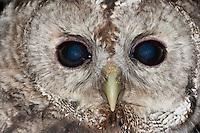 Waldkauz, Wald-Kauz, Kauz, Portrait, Strix aluco, Tawny Owl, Chouette hulotte