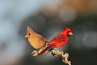 Northern Cardinal (Cardinalis cardinalis), pair perched, Dinero, Lake Corpus Christi, South Texas, USA