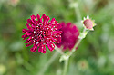 Knautia macedonica, end June.