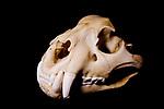 Jaguar (Panthera onca) female skull, Jujuy, Argentina