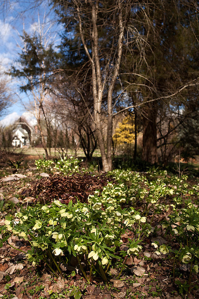 February 2, 2012. Hillsborough, NC..  A stand of hellebores grows on the edge of the woods surrounding the Goodwin homestead..  Nancy Goodwin, who used to run a mail order nursery for rare bulbs, has now preserved her gardens, which in winter, have thousands of blooming flowers and plants, including many rare species which she has cultivated and planted from seeds.