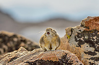American pika (Ochotona princeps) calling.  Beartooth Mountains, Wyoming/Montana border.  Fall.  This photo was taken in alpine setting at around 11,000 feet (3350 meters) elevation.  Most Americans say PIE-ka, but the rest of the world says PEE-ka, and makes the case for PEE-ka because it is (obviously) onomatopoeic of the pika's call.  Pikas are vocal animals, and will use a sharp call or whistle to warn others of danger or to protect their territories from intrusion from other pikas.