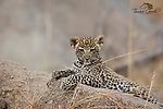 A photo of a wild leopard cub taken in Tanzania's Serengeti National Park.