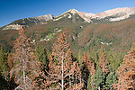 dying conifer forest, lodgepole pine, mountain pine beetle infestation, Never Summer Mountains, Rocky Mountain National Park, Colorado; USA, Rocky Mountains