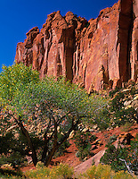Grand Staircase - Escalante National Monument, UT<br /> Cottonwood tree against the red sandstone cliffs in Long Canyon along the Burr Trail road