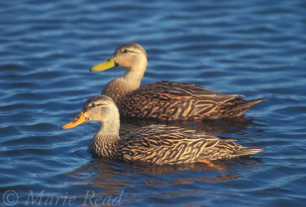 Mottled Duck (Anas fulvigula), pair swimming, Wakodahatchee Wetlands, Florida, USA<br /> Slide # B24-31