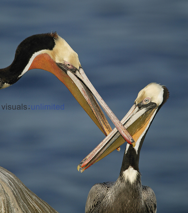 Brown Pelicans dueling bills (Pelecanus occidentalis), California, USA.