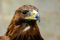 Golden Eagle head.