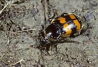 Gemeine Totengräber, Nicrophorus vespillo, Aaskäfer, Silphidae, burying beetle, burying beetles