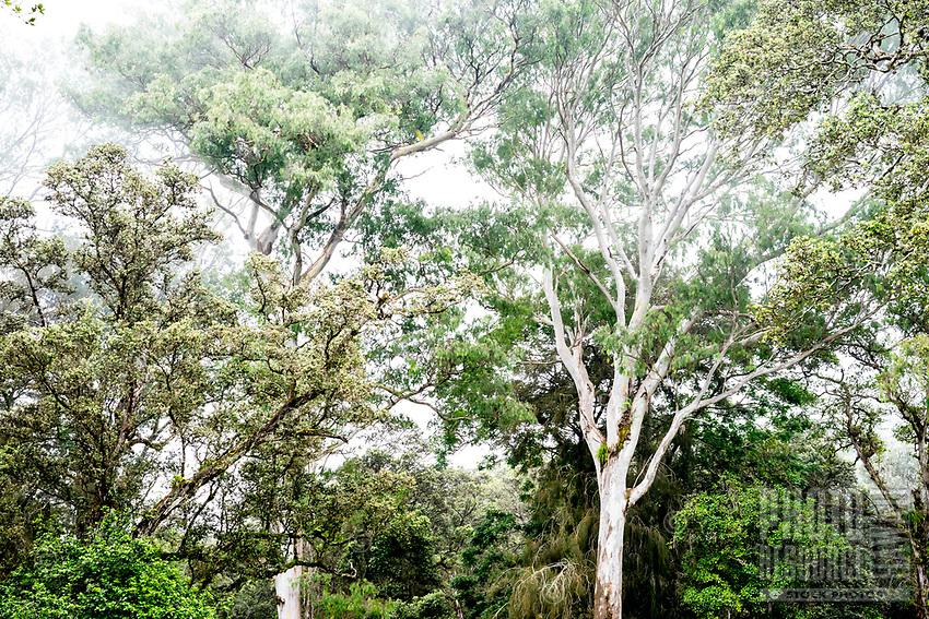 Tree-filled Kalopa State Park, Hamakua district of the Big Island of Hawai'i.