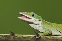 Green Anole (Anolis carolinensis), head, Sinton, Corpus Christi, Coastal Bend, Texas, USA