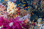 Anthias-Barbier commun (Anthias anthias) of Red Sea, Egypt.