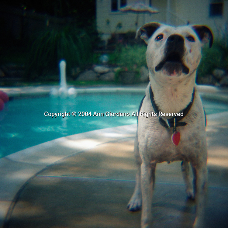 White Pit Bull by Edge of Pool