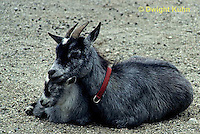 SH05-005z  Goat - nanny goat with kid
