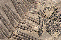 Fossil ferns. Two overlapping species. Pecopteris unita (left), and Pecopteris oreopteroides (Schlotheim) (right). Pennsylvanian. Locality unknown. Pecopteris was an extensive form genus of ferns that flourished in the early Carboniferous period.