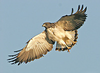 White-tailed hawk flying