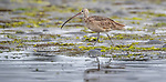 USA, California, Monterey, Elkhorn Slough, Long-billed curlew (Numenius americanus)