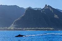 Aumpback whale swims along the Na Pali Coast of Kaua'i.