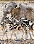 Etosha National Park, Namibia , Burchell's zebra (Equus quagga burchellii) , African bush or savanna elephant (Loxodonta africana)<br />