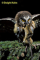 OW03-049z  Saw-whet owl - immature owl with mouse prey - Aegolius acadicus