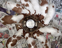 BNPS.co.uk (01202 558833)<br /> Pic: VeCallaghan/BNPS<br /> <br /> Many mouths to feed - Feeding all ten pups.<br /> <br /> Who would believe this adorable set of puppies belong to Britains's most endangered breed of dog.<br /> <br /> But this unusually large litter of ten healthy pups   offers fresh hope for Britain's most threatened native breed, the Red and White Setter.<br /> <br /> The alarming demise of the Irish breed has seen it plummet to the bottom of the Kennel Club's vulnerable breeds list for last year.<br /> <br /> In 2019 just 39 new puppies were registered, compared to 119 at the start of the decade.<br /> <br /> The numbers are tiny compared to the 35,347 Labradors - the UK's favourite dog - that were born last year. <br /> <br /> Now breeder Ve Callaghan from Melton Mowbray in Leicestershire is celebrating the arrival of a huge litter of ten pups that amazingly are rarer than Siberian Tigers, Amur Leopard's and even Giant Pandas.