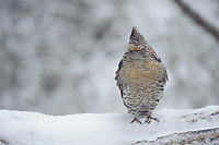 Male Ruffed Grouse (Bonasa umbellus) perched on a snow covered drumming log. Okanogan County, Washington. April..