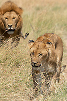 A male and female Lion, Panthera leo  melanochaita, in Maasai Mara National Reserve, Kenya
