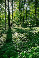 Backlit view of a mature temperate hardwood forest featuring a lush and healthy understory in mid-May, Shades State Park, Indiana, USA