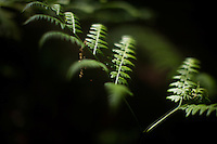 Ferns and other plants grow at Tully Lake Campground near Royalston, Massachusetts, USA.