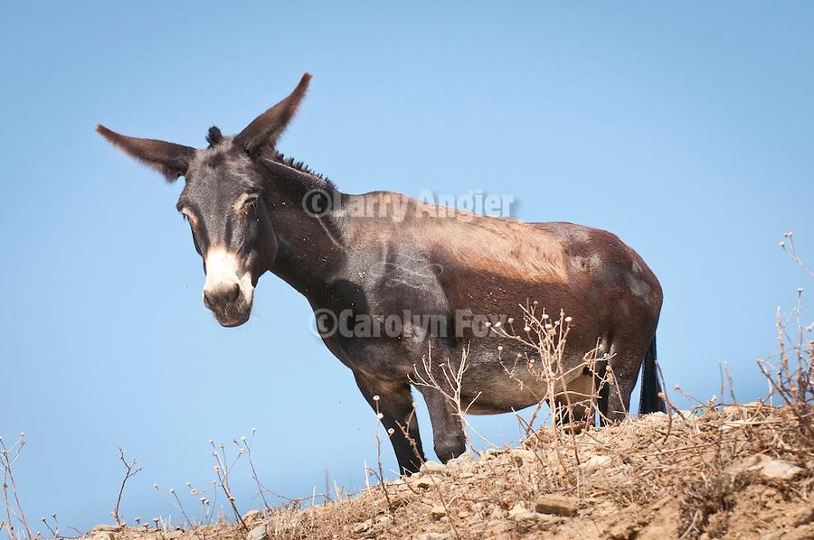 Donkey on a hill, Folegandros, Cyclades, Greece