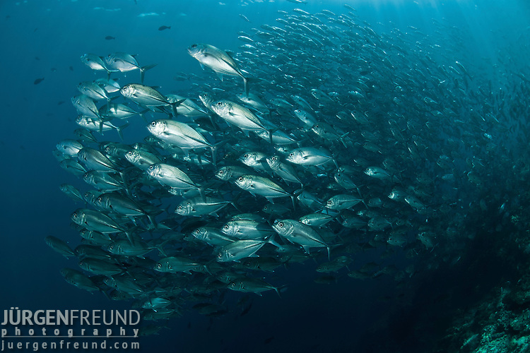 Large schooling bigeye jacks or trevallies at the edge of the reef (Caranx sexfasciatus)