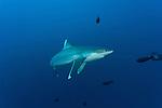 Silvertip reef shark (Carcharhinus albimarginatus)