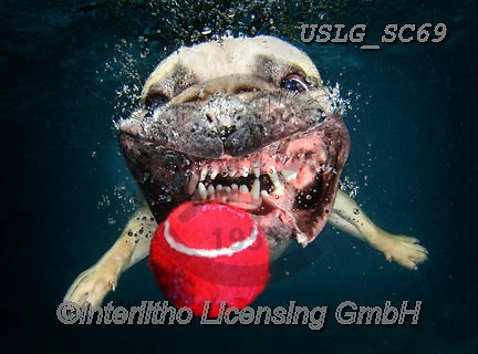 REALISTIC ANIMALS, REALISTISCHE TIERE, ANIMALES REALISTICOS, dogs, paintings+++++SethC_Winston_IMG_8519work,USLGSC69,#A#, EVERYDAY ,underwater dogs,photos,fotos ,Seth