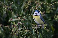 Blaumeise, an Efeu, Blau-Meise, Meise, Meisen, Cyanistes caeruleus, Parus caeruleus, blue tit