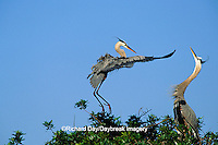 00684-029.16 Great Blue Heron (Ardea herodias) arriving at nest, mate skypointing   FL