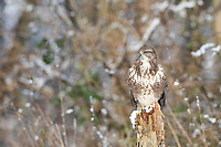 Mäusebussard, im Schnee, Winter, Mäuse-Bussard, Bussard, Buteo buteo, common buzzard, buzzard, snow, La Buse variable