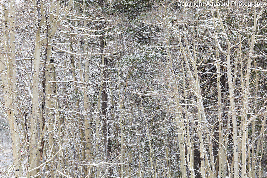 Snowy aspen branches