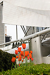 In spring the tulips in chicago grow