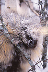 Porcupine in winter in Montana
