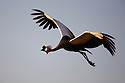 Kenya, Samburu, crowned crane in flight