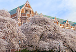 """Seattle, WA     <br /> Blossoming cherry trees in the Liberal Arts Quadrangle, """"The Quad"""", University of Washington campus"""