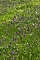 Breitblättriges Knabenkraut, Breitblätteriges Knabenkraut, Breitblättrige Fingerwurz, Orchideenwiese, Dactylorhiza majalis, western marsh orchid, broad-leaved marsh orchid, fan orchid, common marsh orchid, Irish Marsh-orchid, Le Dactylorhize à larges feuilles, Dactylorhize de mai, Orchis de mai