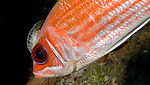 Squirrelfish with Cymothoid Isopod, British Virgin Islands
