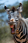 Happy zebra by YS Wildlife Photography
