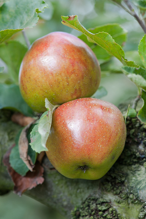 Apple 'Lord Burghley', late September. An English dessert apple discovered in the 1830s in the garden of Marquis Exeter, Burghley, near Stamford, Northamptonshire. Stores well, and widely grown in the second half of the 19th century.