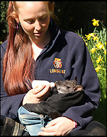 BNPS.co.uk (01202 558833)<br /> Pic: IanTurner/BNPS<br /> <br /> Keeper Gemma has nursed him back to health.  <br /> <br /> Full of the joys of Spring - This lucky baby wallaby at the Longleat Safari Park is celebrating the much delayed arrival of spring sunshine after being rescued from certain death when abandoned by his mother during the 'Beast from the East'.<br /> <br /> Keeper Gemma Short has had to step in and carry him around in a substitute pouch made from a rucksack - but now spring is finally on the way he should be able to hop around on his own more frequently.