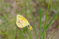 389650022 a wild sleepy orange butterfly eurema nicippe feeds on a small wildflower in city of rocks state park new mexico